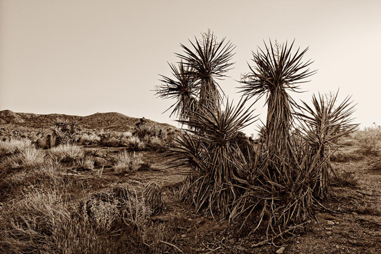 Mohave Yucca by Karchi Perlmann