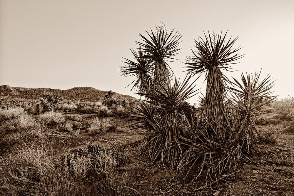 Mohave_Yucca_1000px